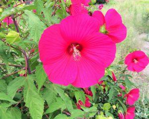マゼンダ色の花
